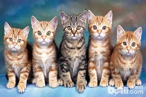 猫咪不乖怎么办?让猫听话的几种方法-成猫饲养